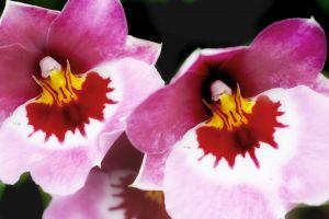 orchideen pflege die 3 faktoren f r eine optimale pflege. Black Bedroom Furniture Sets. Home Design Ideas