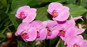 orchideen bilder orchideen in allen formen und farben orchideen ratgeber. Black Bedroom Furniture Sets. Home Design Ideas