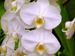 orchideen bilder orchideen in allen formen und farben. Black Bedroom Furniture Sets. Home Design Ideas